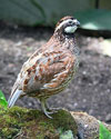 Dr. Dale Rollins discusses conservation to increase the bobtail white quail population